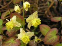 picture of Epimedium versicolor