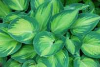 picture of hosta