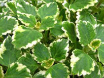 picture of Swedish Ivy (Plectranthus verticillatus)