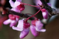 picture of Cercis 'Forest Pansy'