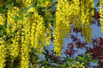 picture of Laburnum watereri 'Vossii'