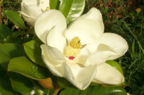 picture of Magnolia grandiflora 'Exmouth'