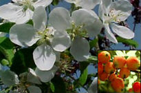 picture of Malus 'John Downie'