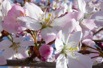 picture of Prunus 'Pandora'