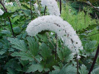 picture of Actea matsumurae 'White Pearl'