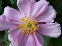 picture of Anemone hybrida 'Konigin Charlotte'