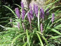 picture of Liriope muscari 'Big Blue'