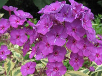 picture of Phlox paniculata 'Harlequin'