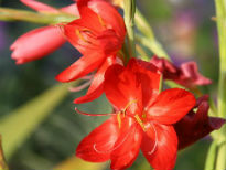 picture of Schizostylis coccinea 'Major'