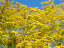 picture of Solidago hybrida 'Golden Wings'