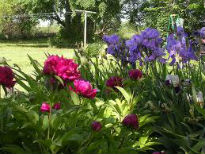 picture of irises and peonies