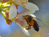 picture of bee pollinating a tree flower