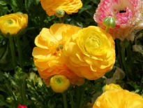 picture of Ranunculus asiaticus