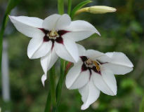 picture of Acidanthera bi-color murielae