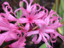 picture of Nerine bowdenii