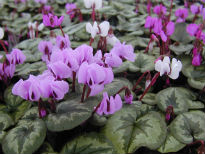 picture of Cyclamen coum