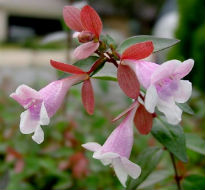 picture of Abelia grandiflora