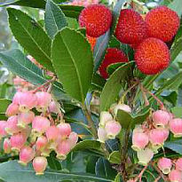 picture of Arbutus unedo