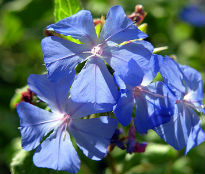 picture of Ceratostigma willmottianum