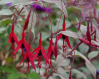 picture of Fuchsia magellanica