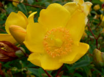 picture of Hypericum 'Hidcote'