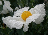 picture of Romneya coulteri