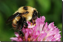 picture of bee on clover