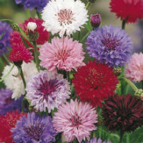picture of Centaurea cyanus