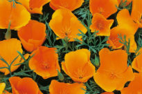 picture of Eschscholzia californica