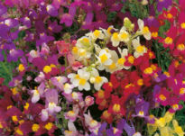 picture of Linaria maroccana