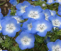 picture of Nemophila menziesii