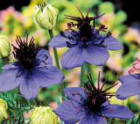 picture of Nigella damascena