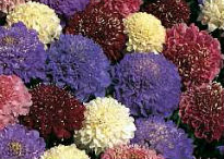 picture of Scabiosa atropurpurea
