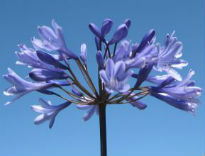 picture of Agapanthus 'Big Blue'
