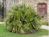 picture of Chaemerops humilis