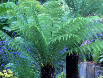 picture of Dicksonia antarctica