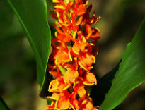 picture of Hedychium densiflorum 'Assam Orange'