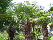 picture of Trachycarpus fortunei