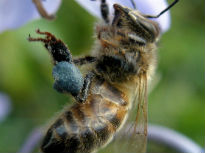 picture of bee with blue pollen