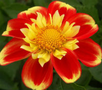 picture of Dahlia Colotte Pooh