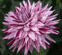 picture of dahlia Blackberry Ripple