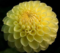 picture of dahlia Polventon Supreme