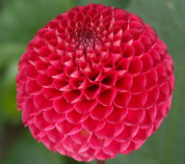 picture of dahlia Red Carol