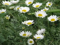 picture of Anthemis punctata
