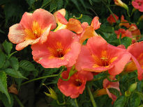 picture of Campsis radicans