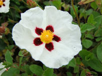 picture of Cistus dansereaurii decumbens