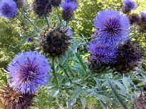 picture of Cynara cardunculus