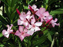 picture of Nerium oleander