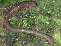 picture of euro earthworm