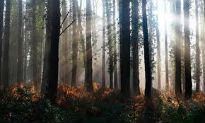 picture of dark woodland with tall trees
